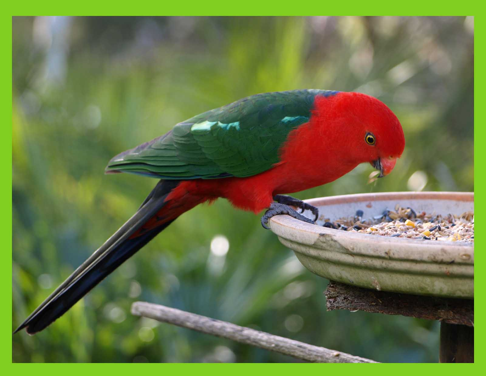 Australian King-Parrot clipart #4, Download drawings