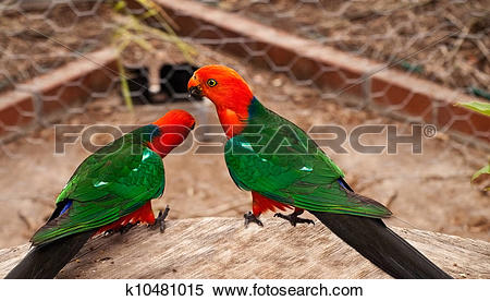 Australian King-Parrot clipart #17, Download drawings