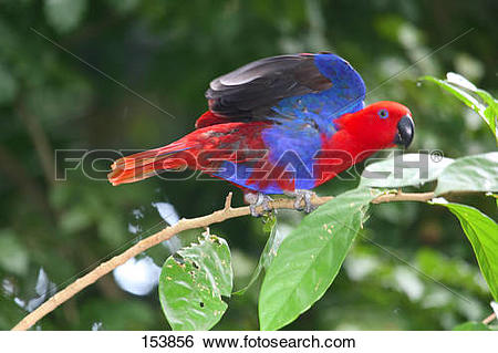 Australian King-Parrot clipart #20, Download drawings