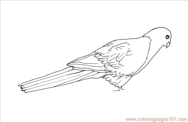 King Parrot coloring #1, Download drawings