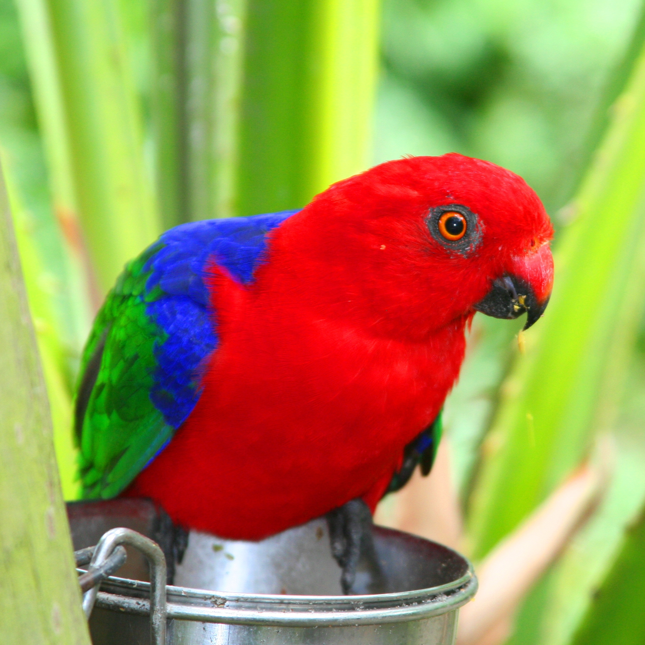 King Parrot coloring #18, Download drawings