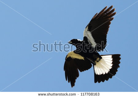 Australian Magpie clipart #5, Download drawings