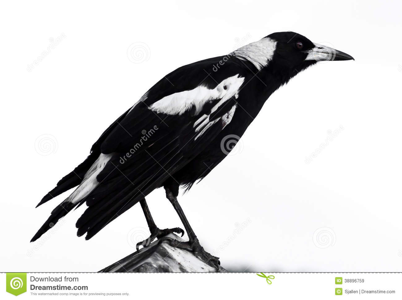 Australian Magpie clipart #14, Download drawings