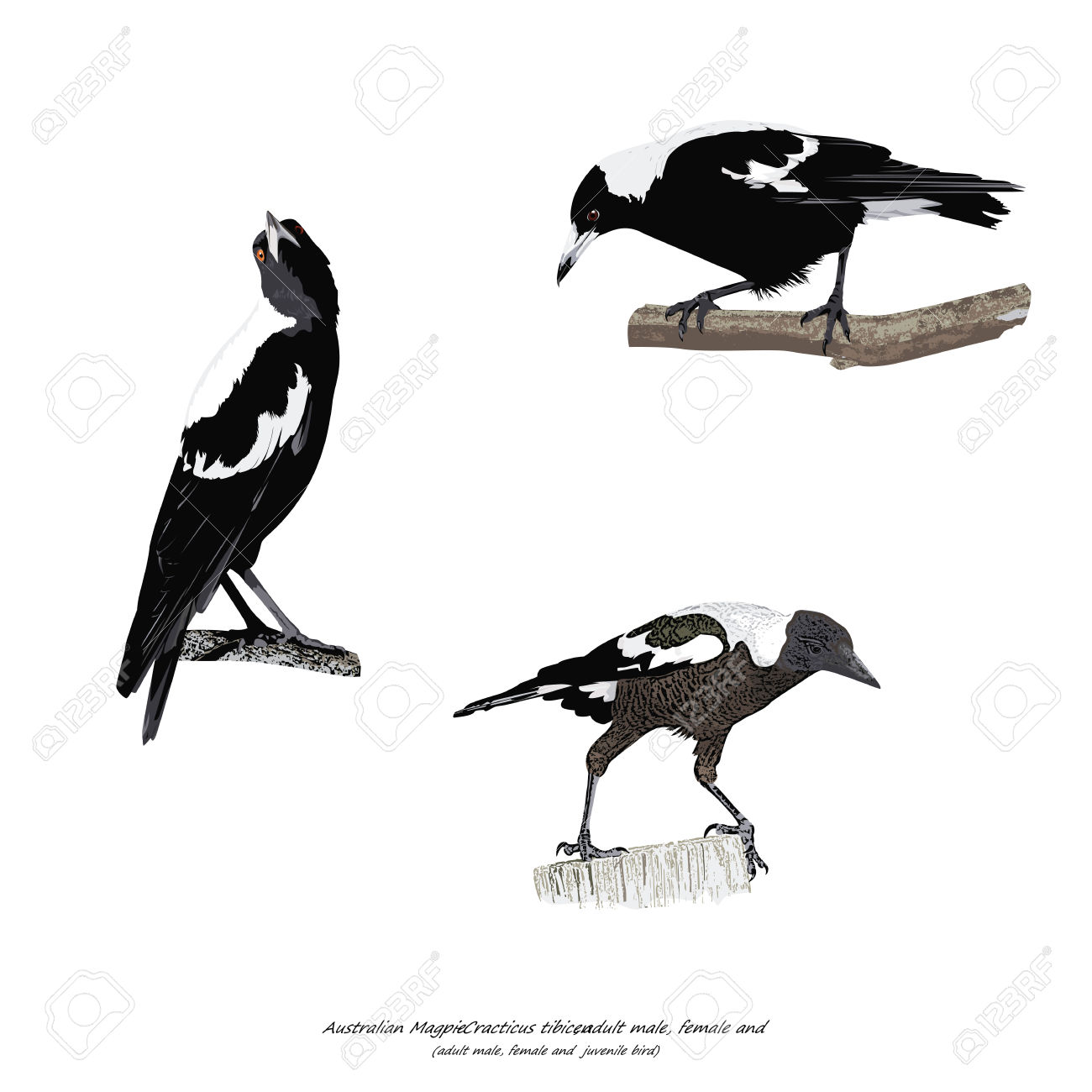 Australian Magpie clipart #10, Download drawings
