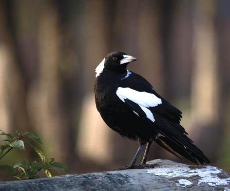 Australian Magpie coloring #1, Download drawings