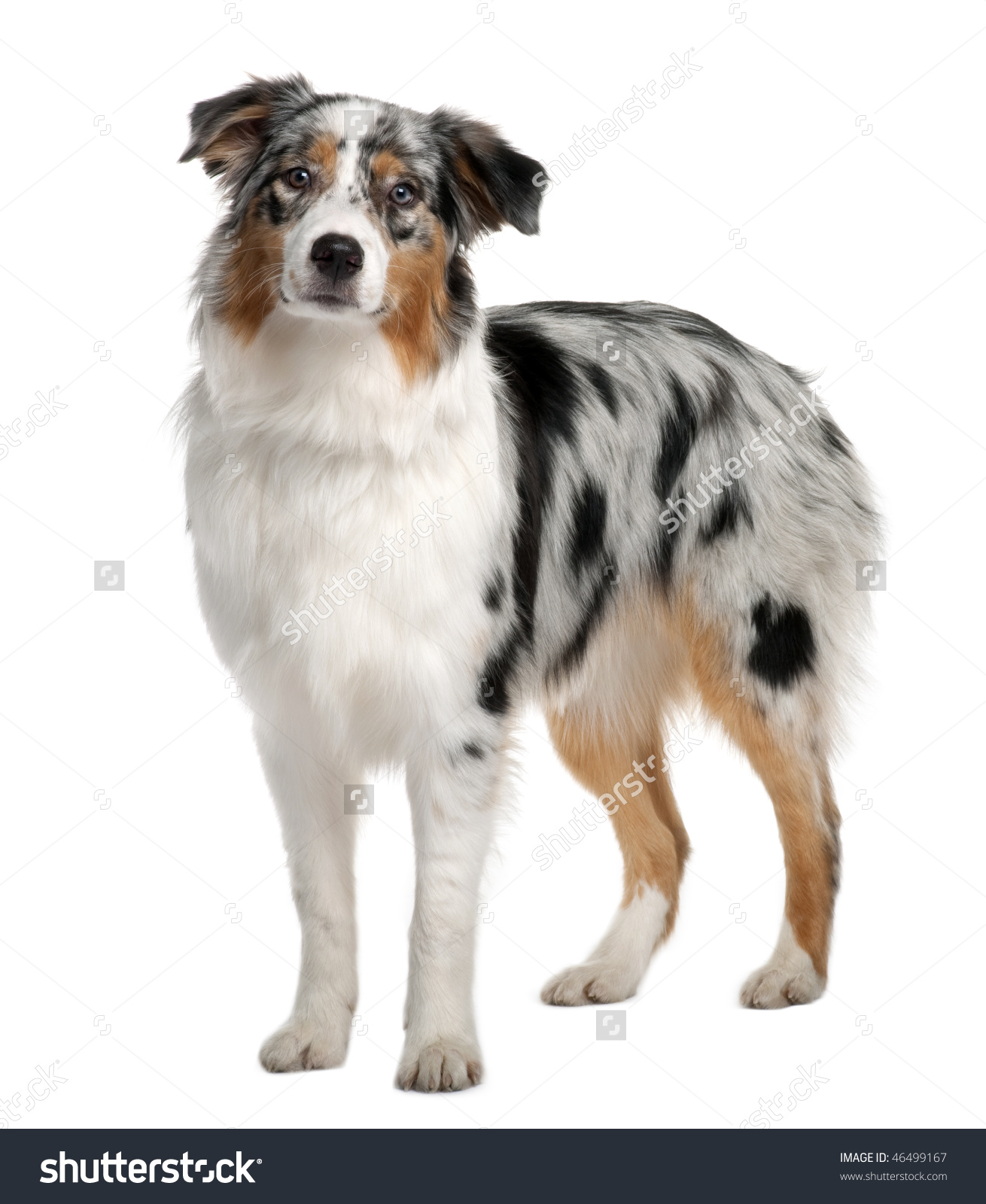 Australian Shepherd clipart #3, Download drawings