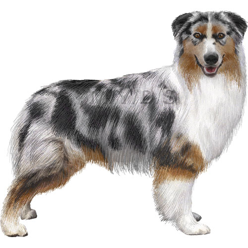 Australian Shepherd clipart #1, Download drawings