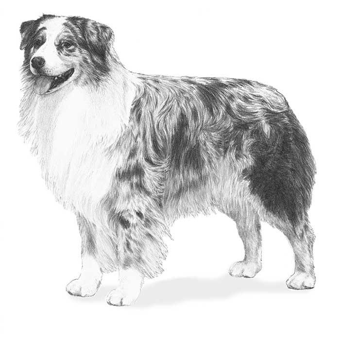 Australian Shepherd coloring #10, Download drawings
