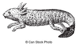 Axolotl clipart #18, Download drawings
