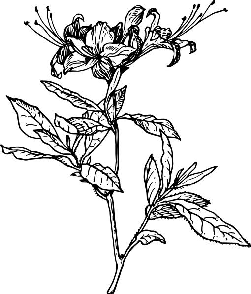 Azalea clipart #12, Download drawings