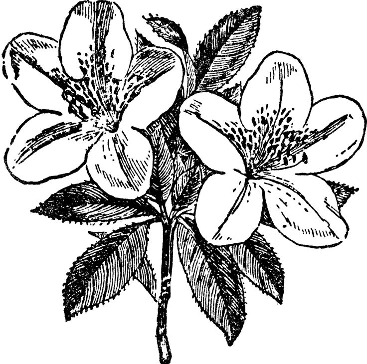 Azalea clipart #16, Download drawings