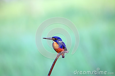 Azure Kingfisher clipart #13, Download drawings