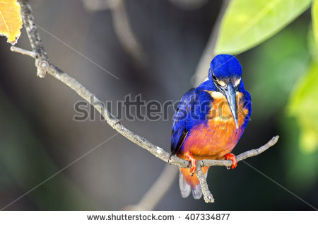 Azure Kingfisher clipart #9, Download drawings