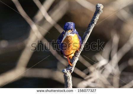 Azure Kingfisher clipart #8, Download drawings