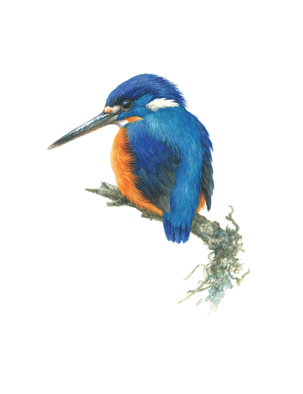 Azure Kingfisher coloring #8, Download drawings