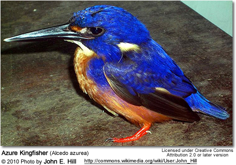 Azure Kingfisher coloring #15, Download drawings