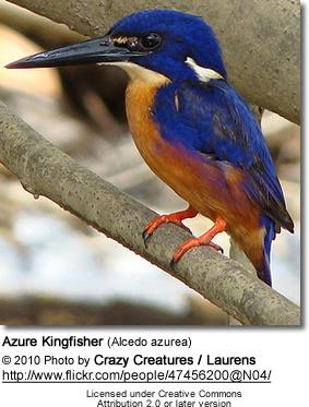 Azure Kingfisher coloring #9, Download drawings