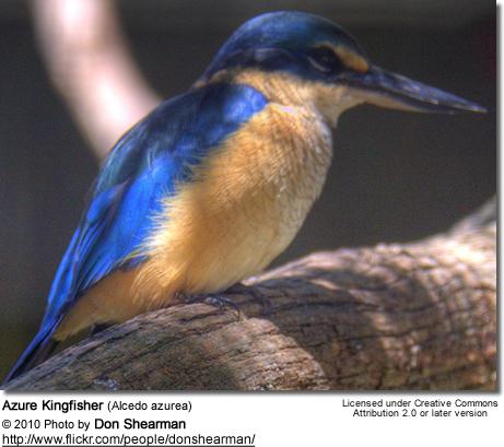 Azure Kingfisher coloring #6, Download drawings