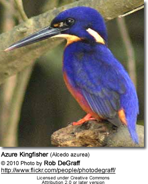 Azure Kingfisher coloring #14, Download drawings