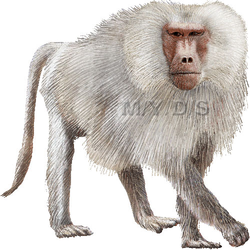 Baboon clipart #2, Download drawings