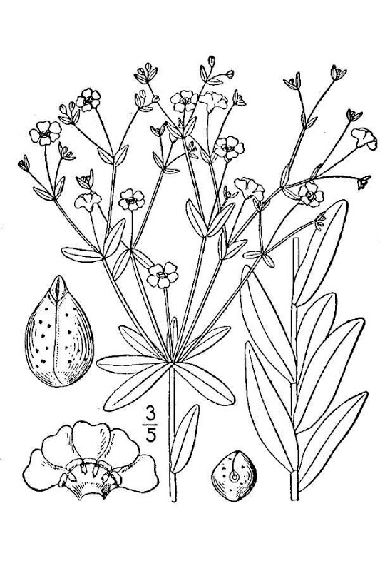 Baby's Breath coloring #16, Download drawings