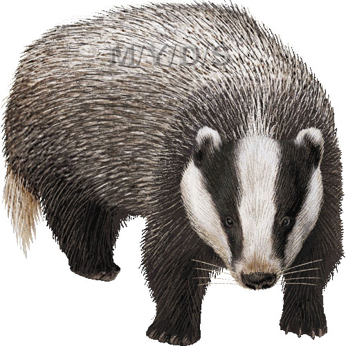 Badger clipart #8, Download drawings