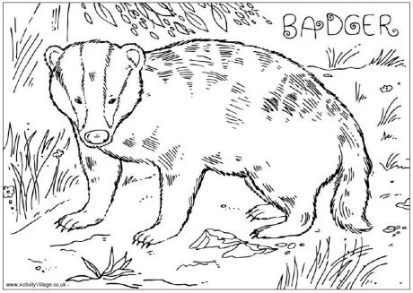 Badger coloring #3, Download drawings