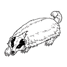Badger coloring #9, Download drawings