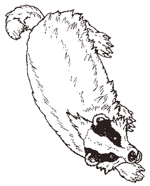 Badger coloring #6, Download drawings