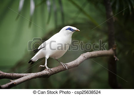 Bali Myna clipart #19, Download drawings