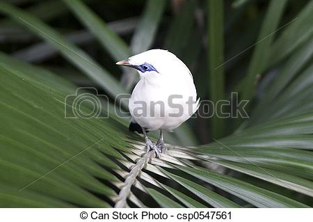 Bali Myna clipart #14, Download drawings