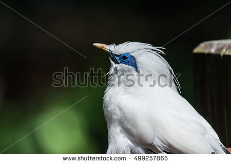 Bali Myna clipart #10, Download drawings