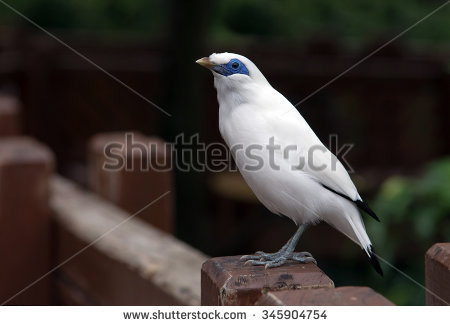 Bali Myna clipart #8, Download drawings