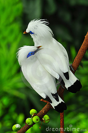 Bali Myna clipart #11, Download drawings