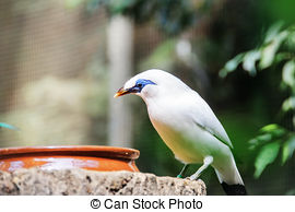 Bali Myna clipart #9, Download drawings