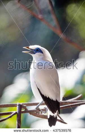 Bali Myna clipart #6, Download drawings