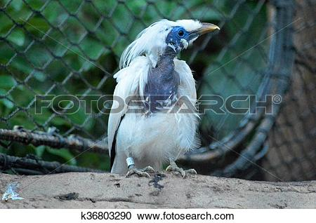 Bali Myna clipart #4, Download drawings