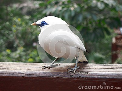 Bali Myna clipart #7, Download drawings