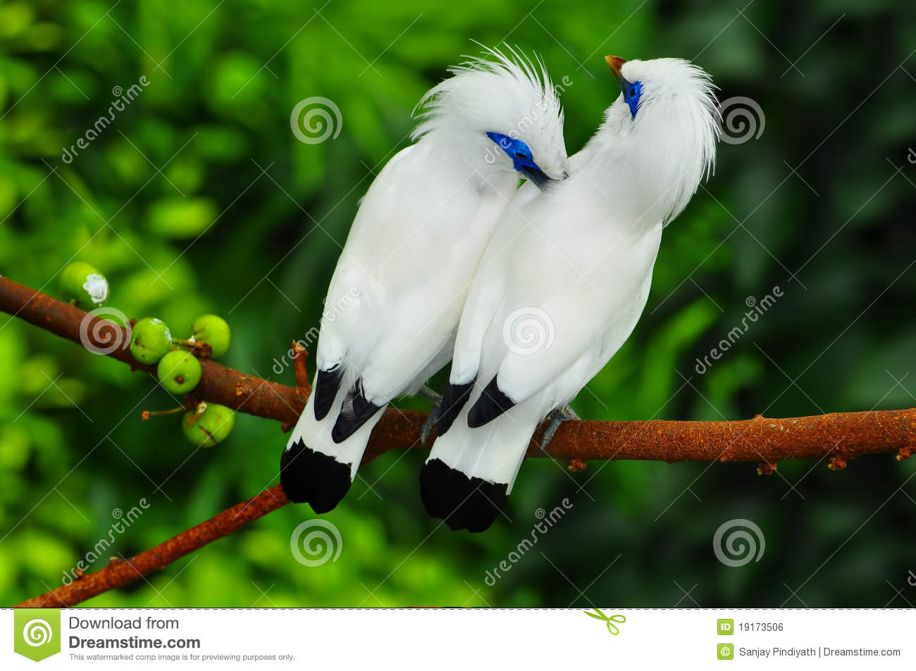 Bali Myna clipart #18, Download drawings