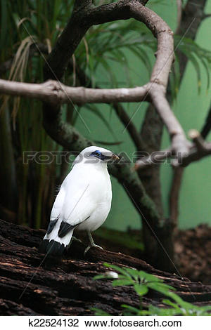 Bali Myna clipart #15, Download drawings