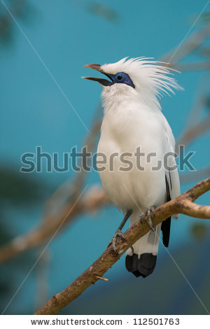 Bali Myna clipart #20, Download drawings