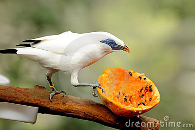 Bali Myna clipart #17, Download drawings