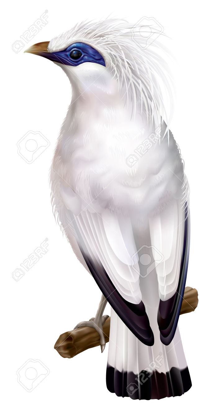 Bali Myna clipart #13, Download drawings