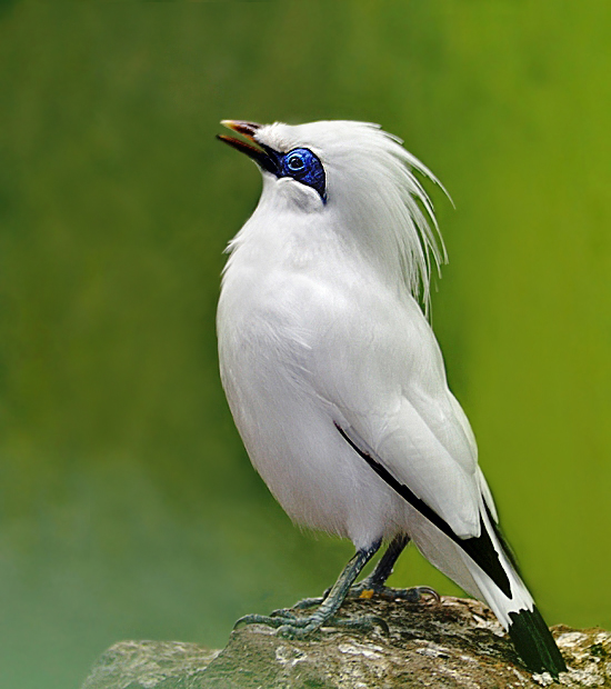 Bali Myna clipart #5, Download drawings