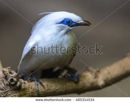 Bali Myna clipart #12, Download drawings