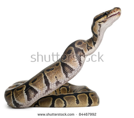 Ball Python clipart #13, Download drawings