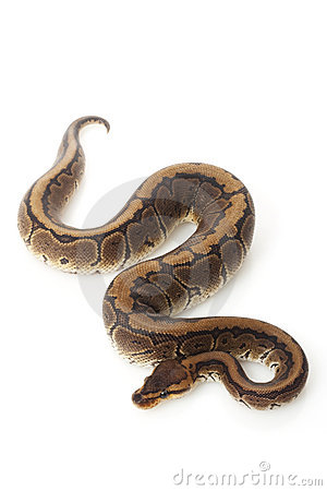 Ball Python clipart #15, Download drawings