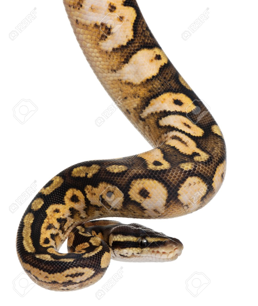 Ball Python clipart #2, Download drawings
