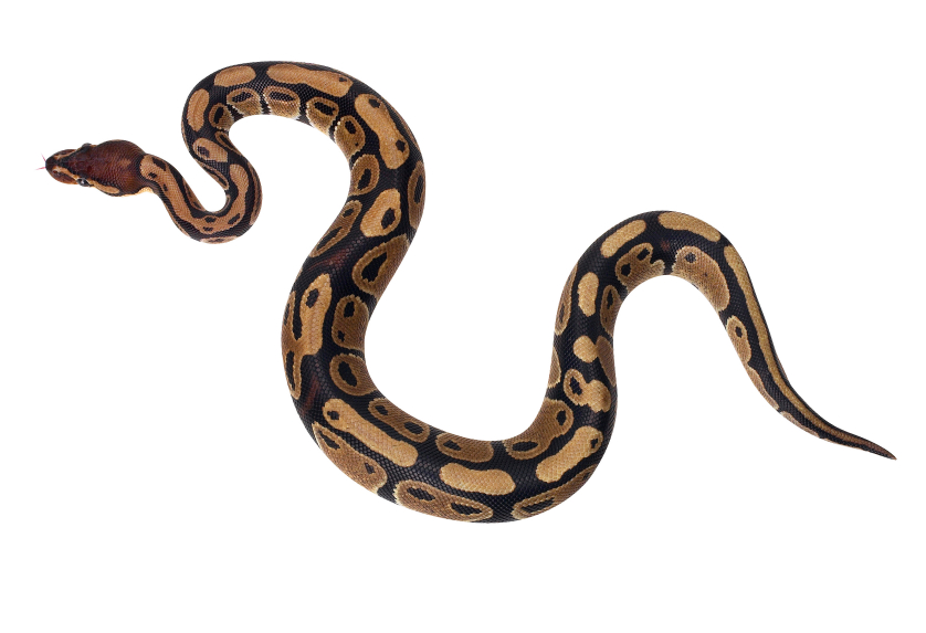 Ball Python clipart, Download Ball Python clipart for free ...