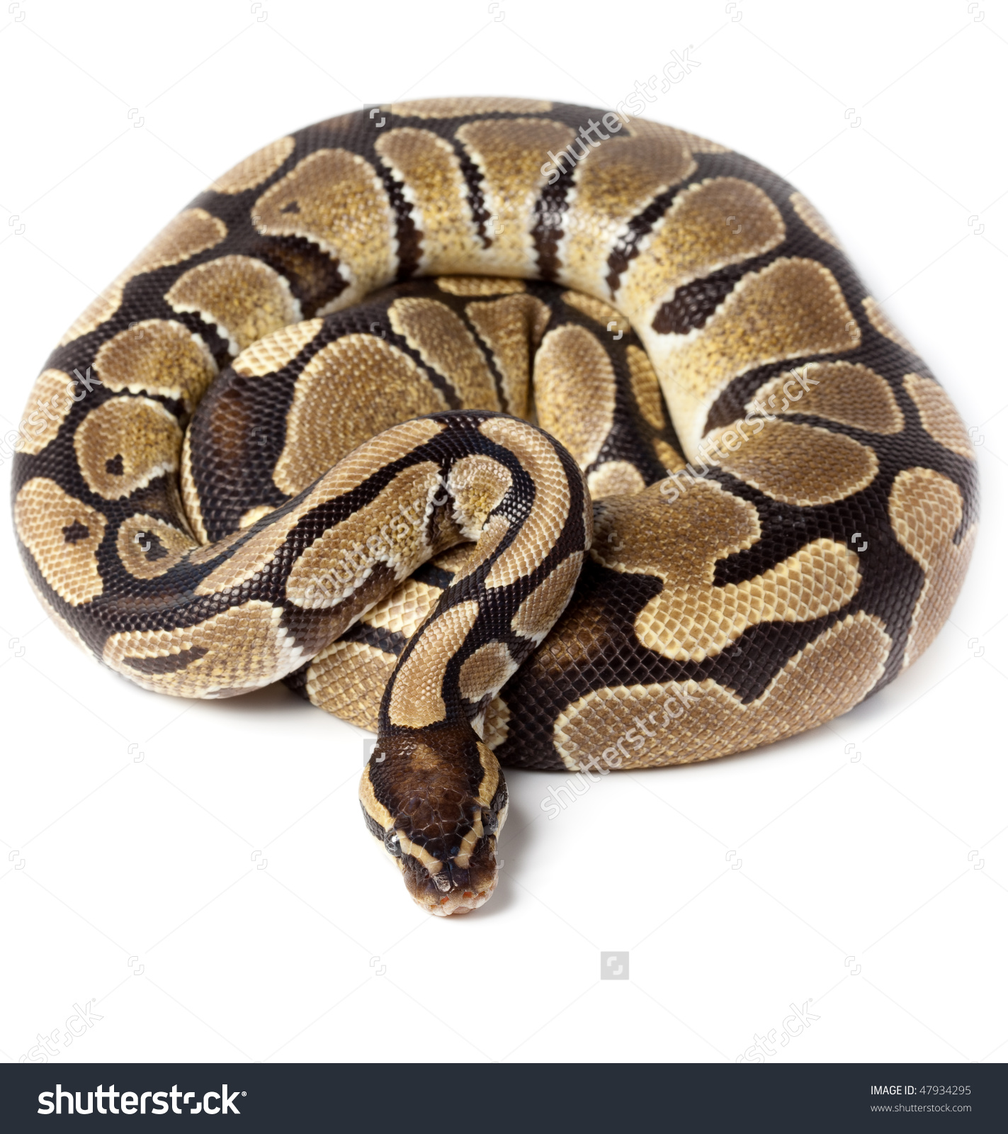 Ball Python clipart #3, Download drawings